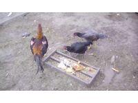 Shamo chickens one cockerel + 2 hens