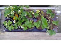 Potted Strawberry Plants