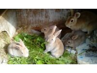 Baby mini rex rabbits for sale, soft velvety fur and curly whiskers