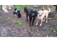 Rottweiller/border collie/labrador cross pups