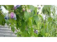 6ft tall Hibiscus syriacus Blue Chiffon - pot grown