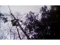 Tree surgeon / tree services / tree removal / arborist