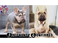 Quality KC French Bulldog puppies