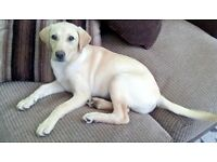 Beautiful Yellow Labrador Puppy (bitch)
