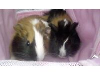 2 male guinea pigs 8 weeks old very handsome ready now