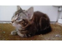 Gorgeous Grey Tabby Kitten for sale - 10 weeks, ready Now!