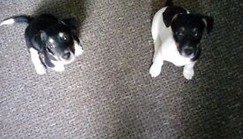 jackrussell pups .wired hired