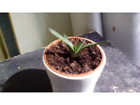 Small succulent plant in white ceramic pot, houseplant