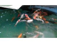 koi carp pond fish for sale over 300 to chose from