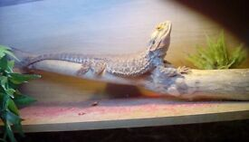 Bearded dragon, with full vivarium set up, plus spare heating matt
