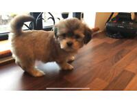 8 Week Old Lhasa Apso Puppies
