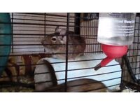Two-year-old female degu for sale, £10, can deliver.