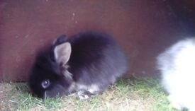 Netherland Dwarf/ Lionhead Cross Baby Rabbits For Sale - £30.00 each