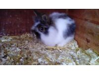 Netherland dwarf cross baby rabbits for sale - £50.00 each
