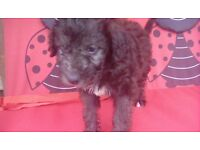 Male bedlington terrier pup last one out of 7 pups