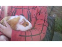 Guinea pig baby girl sows fawn mid short hair