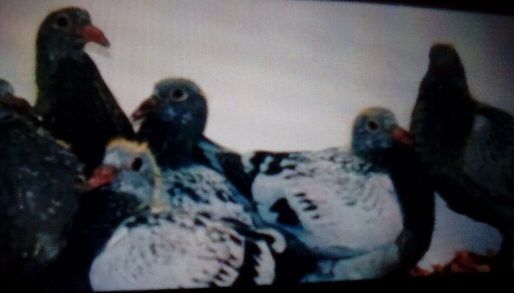 Racing pigeon 2019 young birds for sale early bred   in Allerton, West  Yorkshire   Gumtree