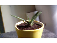 Young succulent, a houseplant who's official name I don't know.