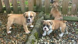 Old tyme type X Victorian Bulldog puppies