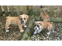 Old tyme type X Victorian Bulldog puppies