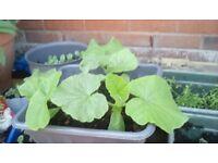 Pumpkins Cucumber plant, Brussels sprouts plant, Melon Plants, Cherry Tomatoes Plants