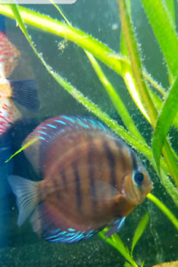 Red Alenquer Discus
