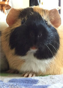 Guinea Pig to Good Family