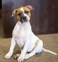 Pedigree English Staffordshire Bull Terrier Pup Coonabarabran Warrumbungle Area Preview