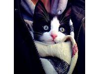 Tuxedo Kitten Looking for Home