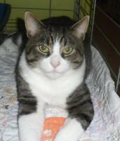 Adult Male  - Domestic Short Hair