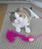 """Adult Female Cat - Dilute Calico-American Shorthair: """"TIFFANY"""""""