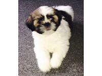 Shih tzu puppy forsale