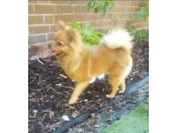 Pomeranian female looking for new forever home
