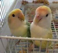 2 Lovebirds with large cage - $100