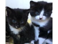 3 beautiful blk and white kittens all female ready to go in 4weeks