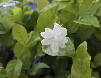 Jasmine Sambac Starter Live Plant 5 To 7 Inches Tall