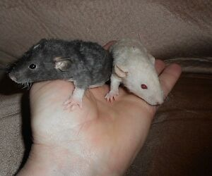 Baby Dumbo - Rex Rats - just weaned, hand tamed