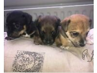 MINIATURE JACK RUSSELL PUPS.. COME WITH FULL PUPPY PACKAGE