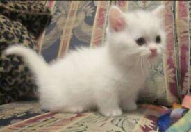Turkish Van x Maine Coon Kittens