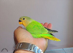 100% handfed opaline Lovebirds...full friendly and tame.