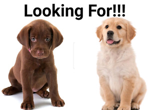LOOKING FOR golden retrever or chocolate lab pup