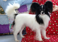 Pure bred registered two year old Papillon puppy