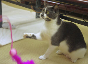 2-year-old Rescued Female Cat Needs Fur-Ever Home! London Ontario image 4