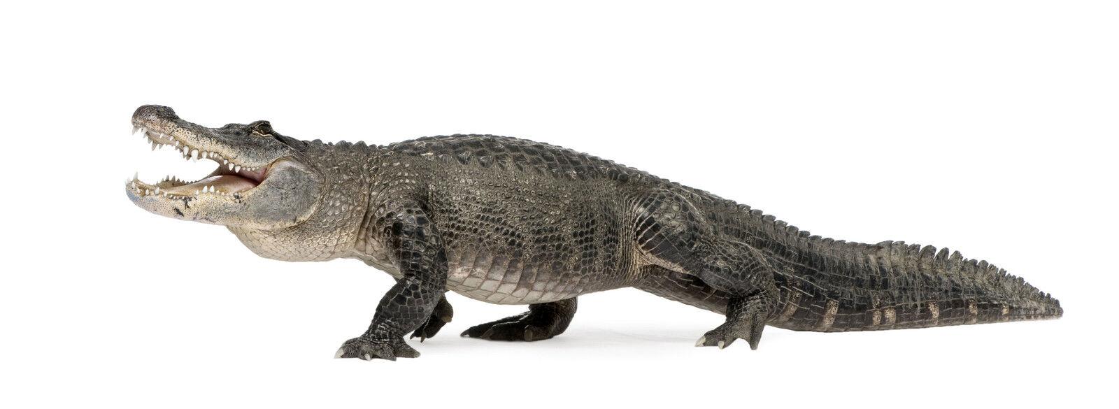 Alligator Kings