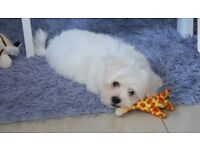 Maltese male puppy 3 months old with full vaccinated,microchipped,devormed etc etc