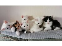 Beautiful Russian White crossed kittens - 3 still available