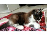 Beautiful black/white male kitten.