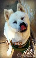 "Senior Male Dog - Jindo: ""Mong"""