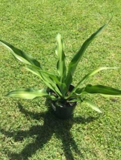 Green Furcraea Foetida GIANT AGAVE succulent Mauritius hemp plant