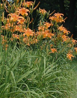 Daylily Bulb (day lily orange bulb/root  shoots spring is here plant them  for june/july 15+ )